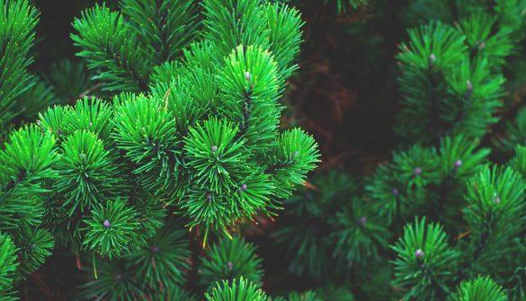 pine-1884335_1920